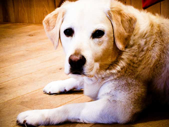 Does Reiki Help Senior Dogs?
